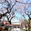 静岡の三嶋大社に桜を見に行ってきた!